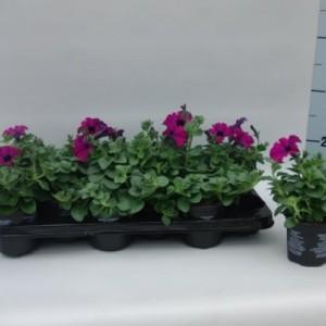 Petunia SURFINIA PURPLE (Sonneveld Plants)