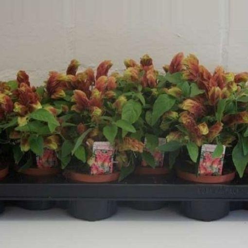 Beloperone guttata (Plantcare BVBA)