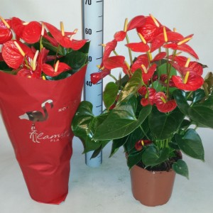 Anthurium 'Flamingo Red' (Flamingo Plant)