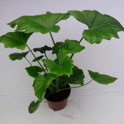 Philodendron selloum (Gasa DK)