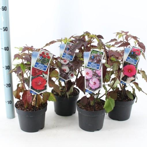 Hibiscus MIX (About Plants Zundert BV)
