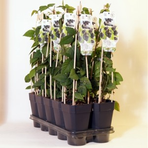 Rubus fruticosus 'Black Satin' (BOGREEN Outdoor Plants)