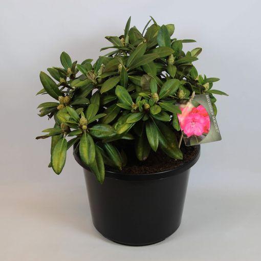 Rhododendron 'Morgenrot' (Rijnbeek Boomkwekerijen B.V.)
