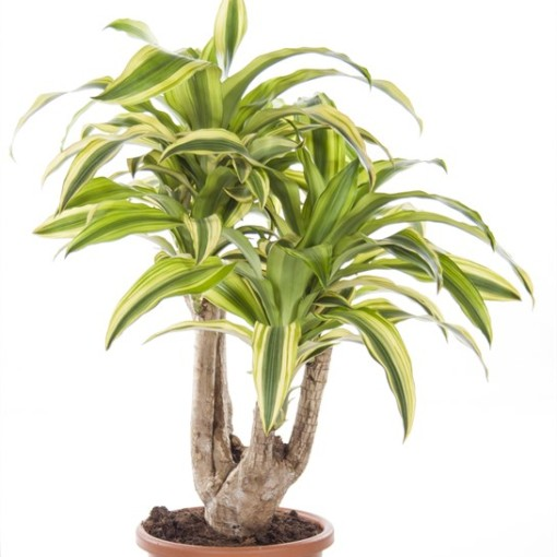 Dracaena fragrans 'Lindenii' (Ammerlaan, The Green Innovater)