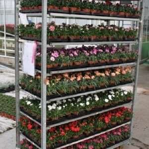 Dianthus TROLLEY #265