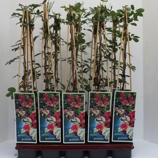 Akebia quinata (Griffioen, Gebr.)