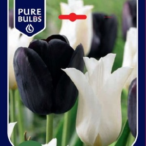 Tulipa MIX IN PACKAGING