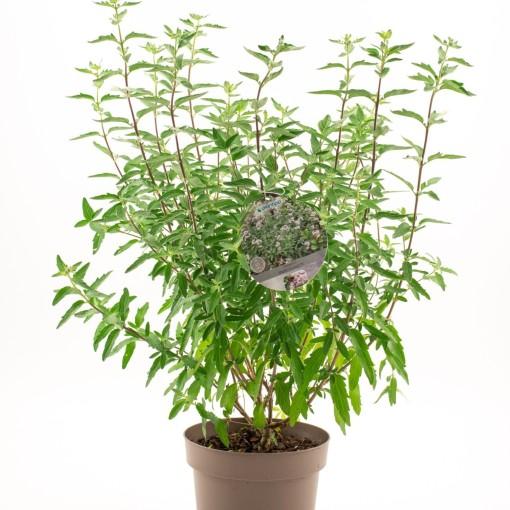 Caryopteris x clandonensis GRAND BLEU (Dool Botanic)