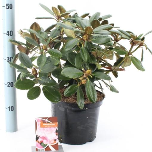 Rhododendron 'Silberwolke' (About Plants Zundert BV)