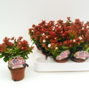 Abelia x grandiflora LITTLE LADY (Experts in Green)