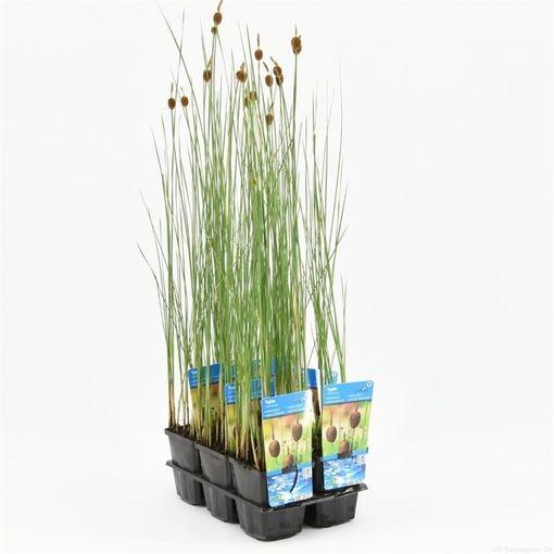 Typha minima (Moerings Waterplanten)