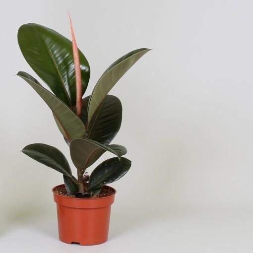 Ficus elastica 'Robusta' (Groot BV, Kwekerij J. de )