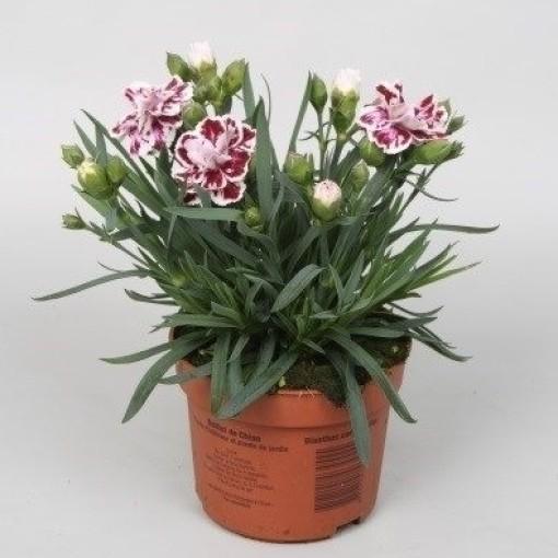 Dianthus SUPER TROUPER SISSY (Rodon Rolff B.V.)