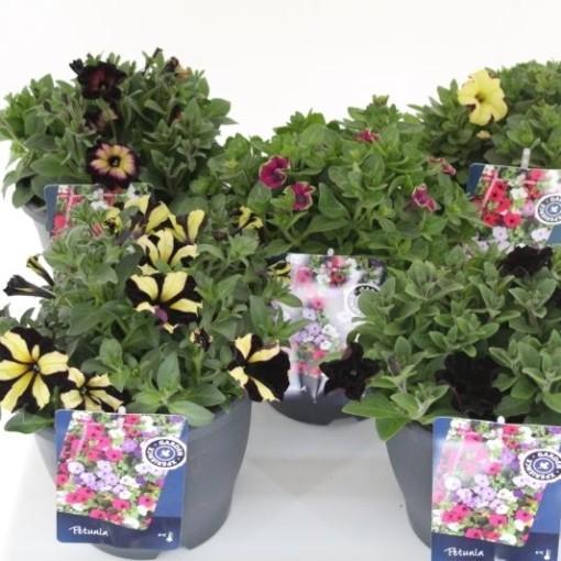 Petunia CRAZYTUNIA MIX (Noordpoel, Kwekerij de)