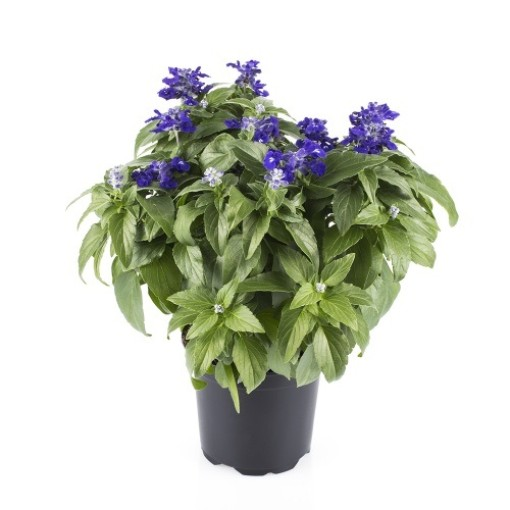 Salvia farinacea 'Blue Sapphire' (Gasa DK)
