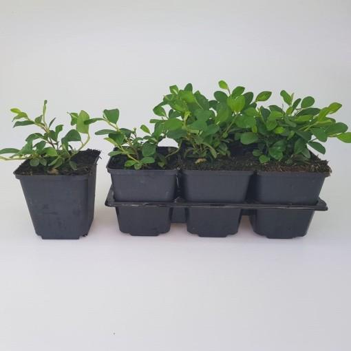 Cotoneaster dammeri (Sneijers Boomkwekerij)