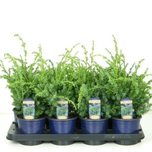 Juniperus chinensis 'Blue Alps' (Vredebest, Kwekerij )