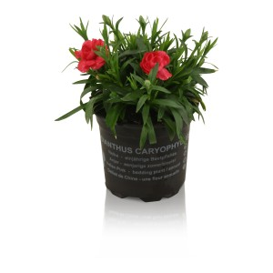 Dianthus OSCAR MIX (Adrichem Potplanten)