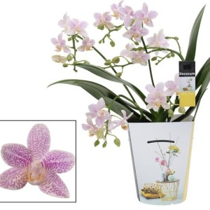 Phalaenopsis LITTLE STAR