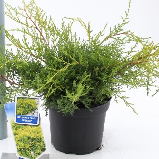 Juniperus x pfitzeriana 'Old Gold' (About Plants Zundert BV)