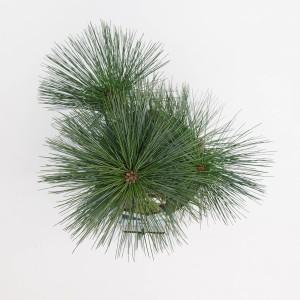 Pinus x schwerinii 'Wiethorst' (Bremmer Boomkwekerijen)
