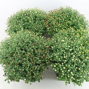 Chrysanthemum MIX IN POT (Bas van der Wilt)