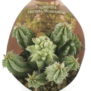 Euphorbia horrida monstruosa