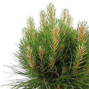 Pinus 'Summer Breeze' (Son & Koot BV)
