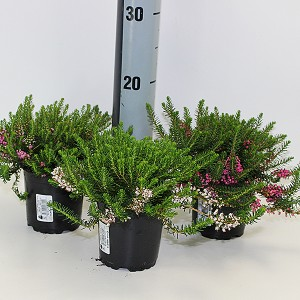 Erica vagans MIX (Experts in Green)