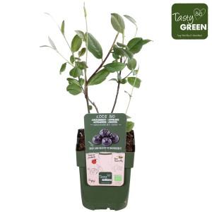 Aronia x prunifolia 'Rubina'