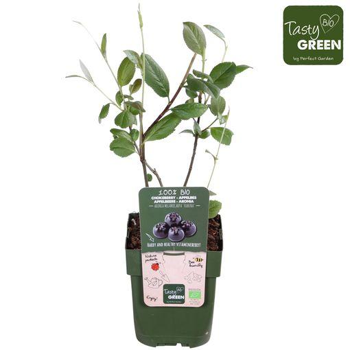 Aronia x prunifolia 'Rubina' (Hoogeveen Plants)