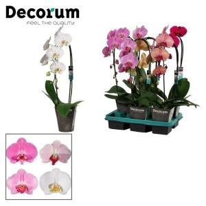 Phalaenopsis MIX