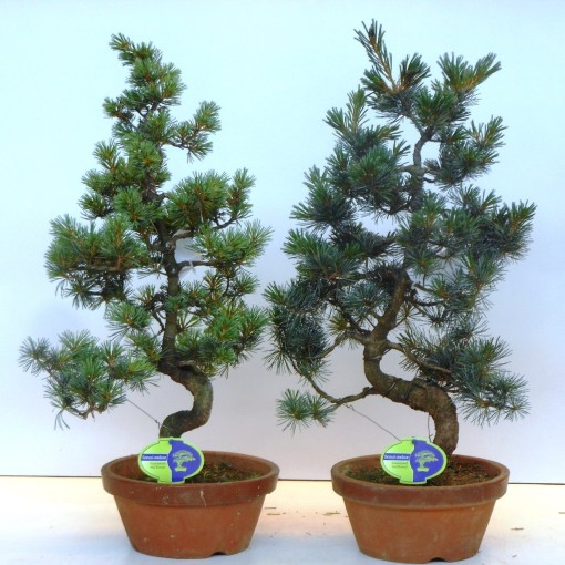 Pinus parviflora pentaphylla (Lodder Bonsai BV)