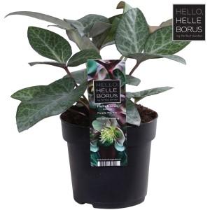 Helleborus lividus 'Purple Marble'