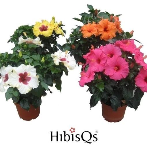 Hibiscus MIX (De Wilgenlei b.v.)