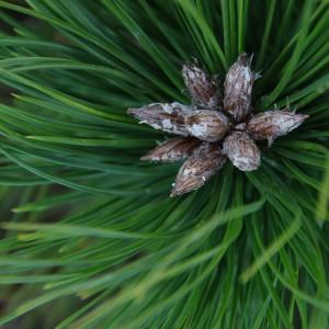 Pinus densiflora 'Low Glow' (Bremmer Boomkwekerijen)