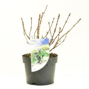 Lonicera caerulea 'Blue Star' (Dool Botanic)