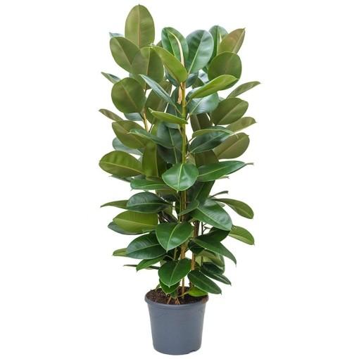 Ficus elastica 'Robusta' (Nieuwkoop Europe B.V.)