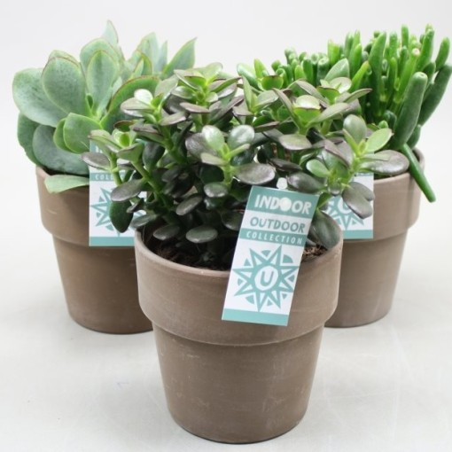 Crassula MIX (Ubink)