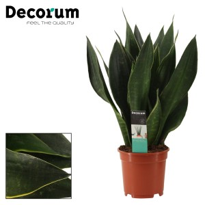 Sansevieria 'Black Diamond'