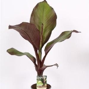 Ensete ventricosum 'Maurelii' (Vreugdenhil Bulbs & Plants)