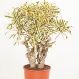Dracaena reflexa 'Song of India'