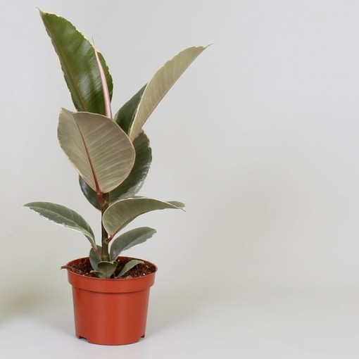 Ficus elastica 'Tineke' (Groot BV, Kwekerij J. de )
