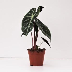 Alocasia 'Nairobi Nights'
