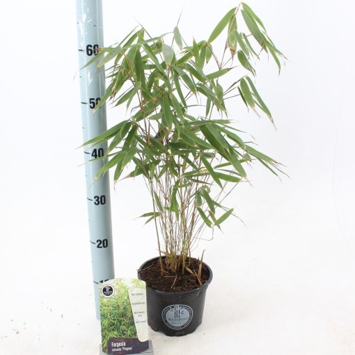 Fargesia robusta 'Pingwu' (About Plants Zundert BV)