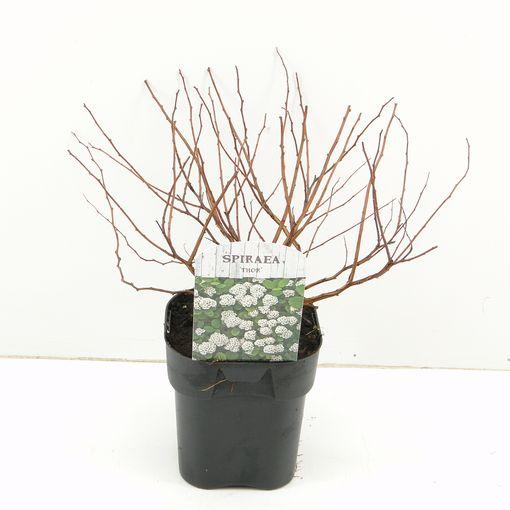 Spiraea betulifolia 'Tor' (Hooftman boomkwekerij)