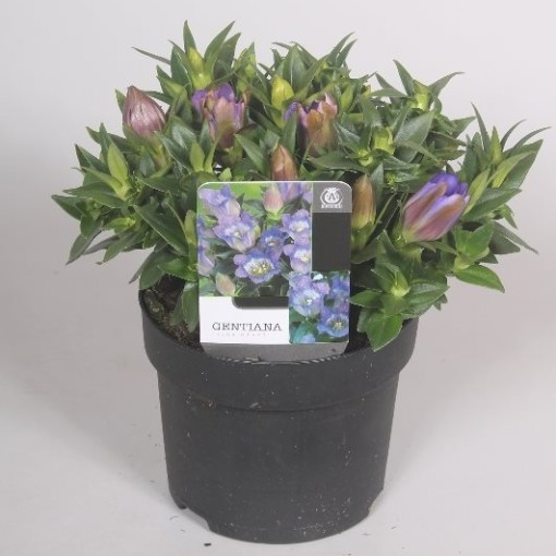 Gentiana scabra ROCKY DIAMOND BLUE HEART (Mathot Plants B.V.)