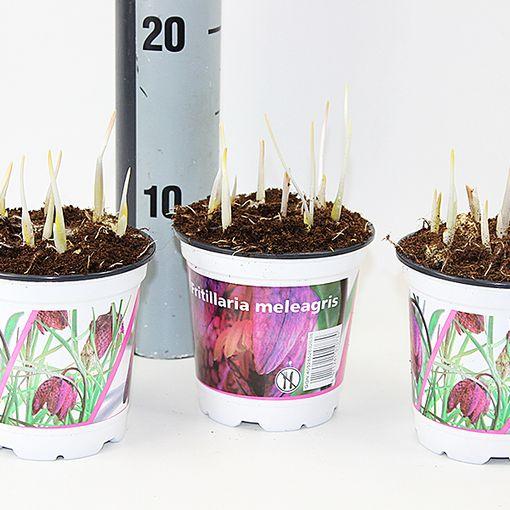 Fritillaria meleagris (Experts in Green)