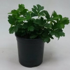 Waldsteinia ternata (WTM de Boer)