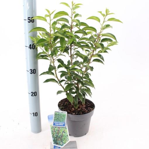 Prunus lusitanica 'Angustifolia' (About Plants Zundert BV)